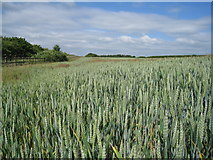 SY7895 : Wheat field north of the A35 by Sandy B
