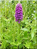 NS3976 : Northern Marsh-orchid (Dactylorhiza purpurella) by Lairich Rig