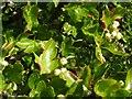NS3778 : Leaf galls on hawthorn by Lairich Rig