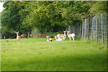 TQ3643 : Deer at the British Wildlife Centre, Newchapel, Surrey by Peter Trimming