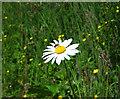 J4967 : Daisy, Castle Espie by Rossographer