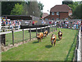 TQ9534 : Pig Racing at Rare Breeds Centre by Oast House Archive
