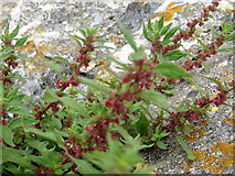 SY6873 : Pellitory of the Wall - Portland by Sarah Smith