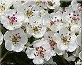 SH6178 : Hawthorn Blossom (Crataegus monogyna) by Anne Burgess