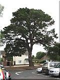 SZ0095 : Broadstone's Monterey Pine by John Palmer