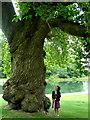 C2703 : Huge tree at Oakfield Demense by louise price