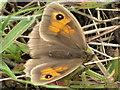 SJ7965 : Meadow Brown (Maniola jurtina) by Jonathan Kington