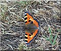 SK1383 : Small Tortoiseshell Butterfly on Treak Cliff by Jonathan Clitheroe