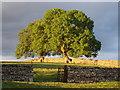 NY7203 : Trees at Townhead, Ravenstonedale by David McMumm