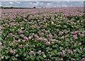 SW8863 : Potato field, Trevithick Downs by Derek Harper