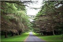 J3532 : Himalayan Cedars at Tollymore Forest Park by Eric Jones