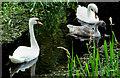 J2866 : Swans, Lambeg by Albert Bridge