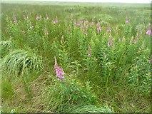 SD9920 : Rosebay willowherb on the moor, Soyland by Humphrey Bolton