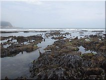 TA0487 : Low tide and kelp in South Bay by John S Turner