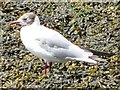 TG4806 : Immature Black Headed Gull by Adrian S Pye