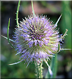TG2407 : Flowering teasel on the Deal Ground by Evelyn Simak