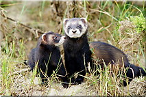TQ3643 : Polecats at the British Wildlife Centre, Newchapel, Surrey by Peter Trimming