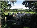 SN3455 : Cattle at Ciliau-Hwnt by Rudi Winter