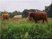 SU9947 : Cattle near Guildford by Shazz
