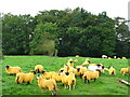 NY8262 : Orange sheep grazing in a field southwest of West Land Ends by Mike Quinn