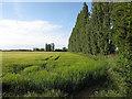 TF4805 : Poplar windbreak by Hugh Venables