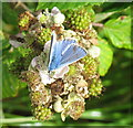 R6441 : Common blue butterfly on brambles by Lough Gur by David Hawgood