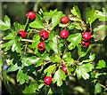 TM1095 : Hawthorn berries by Evelyn Simak