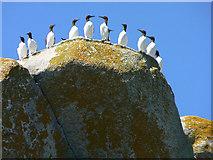 SV8917 : Guillemots on parade, Men-a-vaur, Scilly by John Rostron
