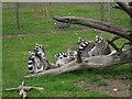 TR2558 : Lemurs at Wingham Wildlife Park by Oast House Archive
