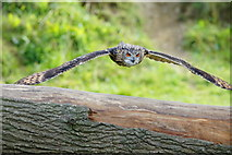 TQ3643 : Eagle Owl at the British Wildlife Centre, Newchapel, Surrey by Peter Trimming