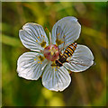 NN7015 : Hoverfly on Grass-of-parnassus by Dr Richard Murray