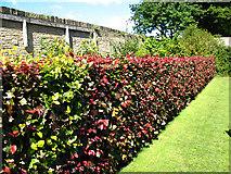 SE0823 : Beech hedge in Manor Heath Park by Stephen Craven