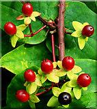 J4681 : Tutsan berries, Crawfordsburn (4) by Albert Bridge