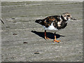 TQ8983 : Ruddy Turnstone on Southend Pier by Oast House Archive