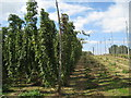 TQ8028 : Hop Field at Hoad's Farm by Oast House Archive