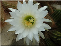 TQ1877 : One of the flowers on an echinopsis cactus by pam fray