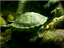 TQ1876 : Small turtle in the aquarium under the Palm House, Kew Gardens by pam fray
