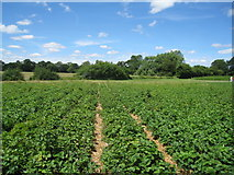 SU7556 : Strawberry fields - yum! yum! by Given Up
