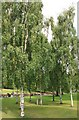 NT2473 : Copse of silver birch trees for RLS. by edward mcmaihin