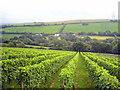 SX0267 : Camel Valley Vineyards by Rod Allday