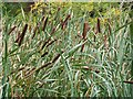 NY9365 : Bulrushes by Joan Sykes