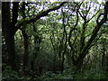 SM9624 : Oak woodland by ceridwen