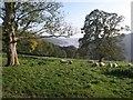 SX8754 : Sheep near Maypool by Derek Harper