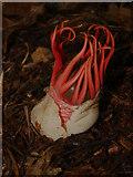 TQ1361 : Aseroe rubra, Esher Common by Alan Hunt