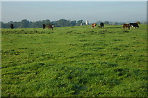 SO8843 : Cattle grazing at Dunstall by Philip Halling