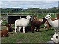 NT9503 : Alpacas at Sharperton by Ian Drummond