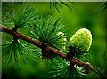 NU1228 : Pine Cones by Alfie Tait