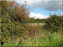 TM3995 : Hawthorn berries and rose hips by Evelyn Simak