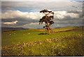 NT2439 : Solitary tree on Cademuir Hill by Sarah Charlesworth