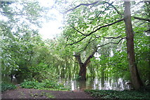 TQ1672 : Riverside trees in the water, River Thames by N Chadwick